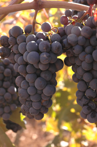 We aim to produce, intense, focused wines from hillside and mountain grapes.